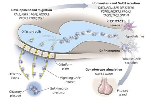 Diagram showing the migration of GnRH releasing neurones during early brain development & the location of the actions of the genes associated with KS / HH.